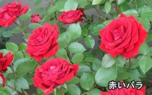 薔薇の本数で意味が違う花言葉