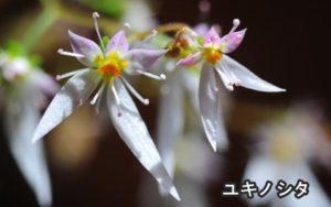 ユキノシタの花言葉は深い愛情があります